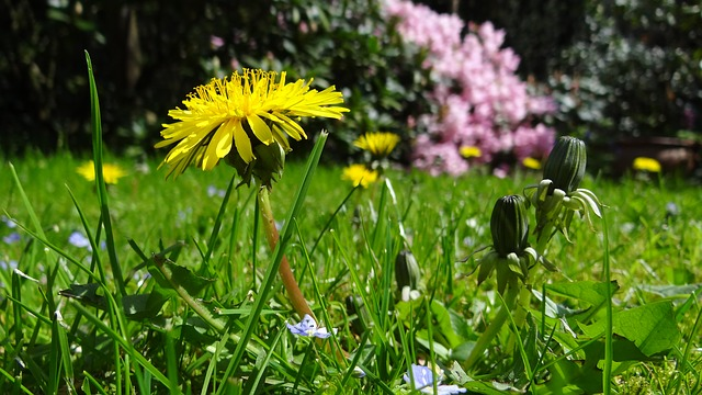 Dandelions: Can't Beat Them? Eat Them!